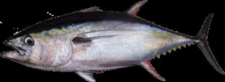 Tuna Steak (Frozen)